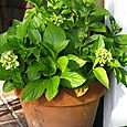 My very full Hydrangea