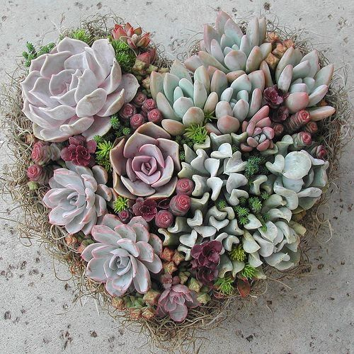 Succulent in heart shape