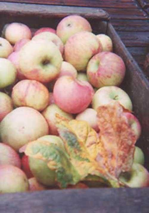 Apples_in_box_1_edited2