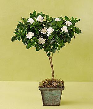 Gardenia_topiary